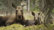 Meet the Moose Family