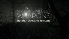 Nature's Wildest Weapons: Horns, Tusks and Antlers
