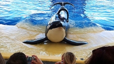 Blackfish: The Whale that Killed